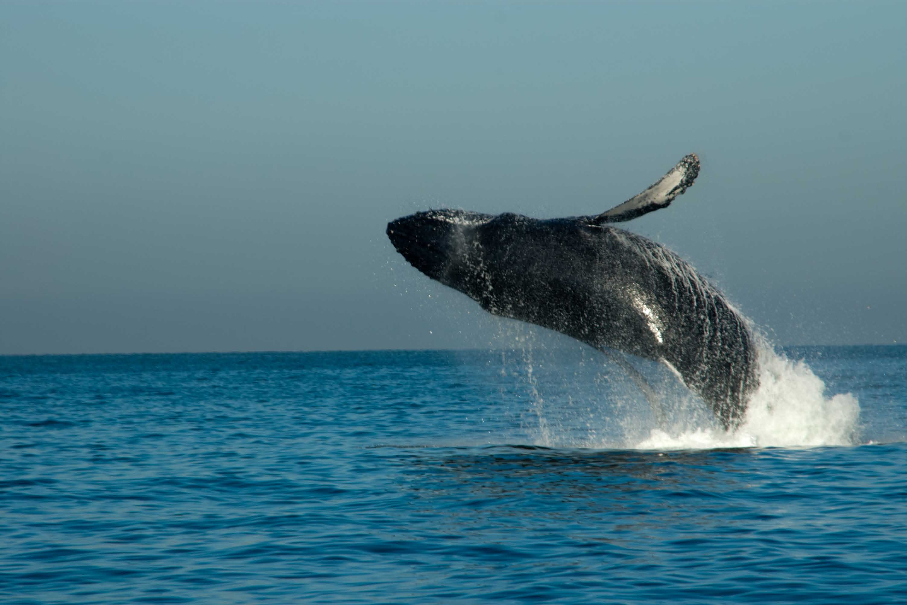 cabo San Lucas Whale watching sailing tour